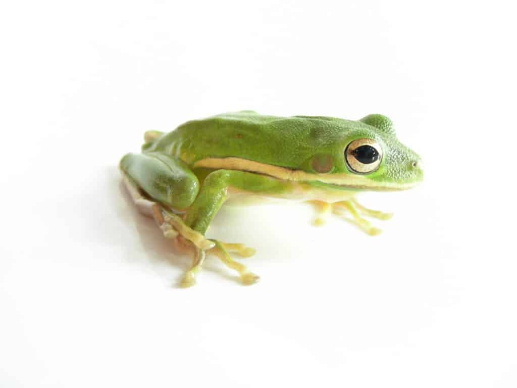 Green Frog on white background representing boiling frog in a dysfunctional culture, decaying company culture,